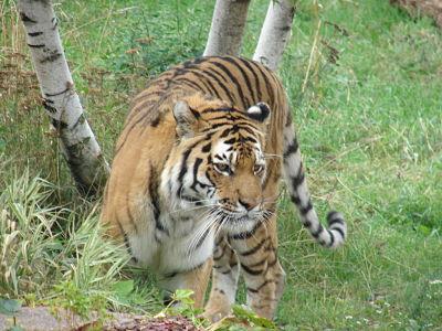 tiger-lincoln-park